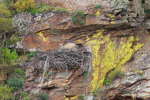 BRD 13 WF0089 01 © Kimball Stock Eurasian Griffon Vulture Laying In Nest In Sandstone Cliff