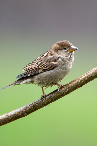 BRD 13 WF0090 01 © Kimball Stock Young House Sparrow Perched On Twig