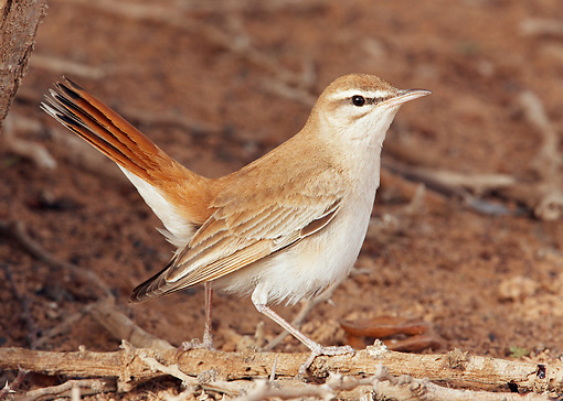 BRD 13 WF0091 01 © Kimball Stock Rufous Bush Chat Standing On Ground