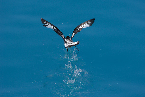 BRD 13 WF0093 01 © Kimball Stock Cape Petrel Taking Off From Surface Of Water