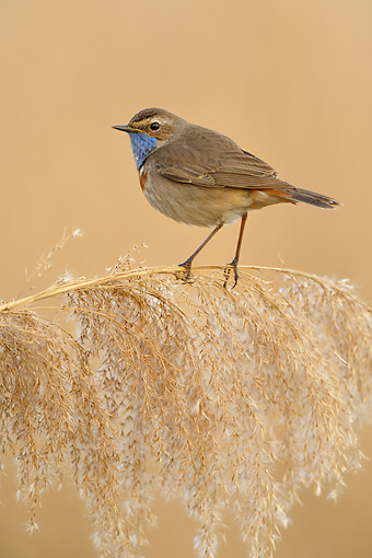 BRD 13 WF0096 01 © Kimball Stock Bluethroat Male Perched On Reed Stem