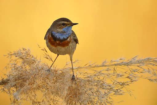 BRD 13 WF0097 01 © Kimball Stock Bluethroat Male Perched On Reed Stem