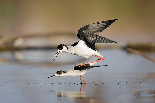BRD 13 WF0100 01 © Kimball Stock Black-Winged Stilt Trying To Mate In Shallow Water