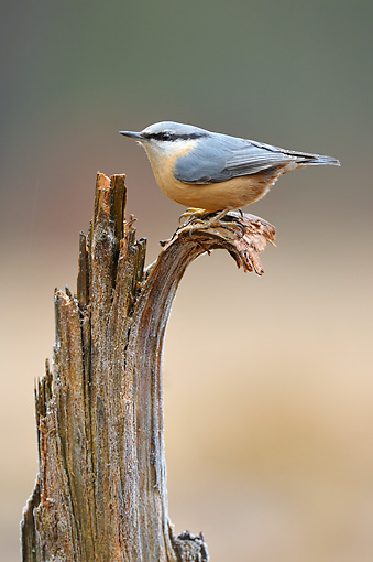 BRD 13 WF0103 01 © Kimball Stock Eurasian Nuthatch Perched On Broken-Off Branch