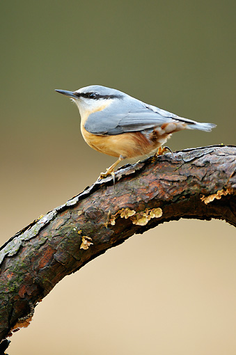 BRD 13 WF0104 01 © Kimball Stock Eurasian Nuthatch Perched On Pine Branch