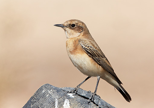 BRD 13 WF0107 01 © Kimball Stock Portrait Of Black-Eared Wheatear Standing On Rock