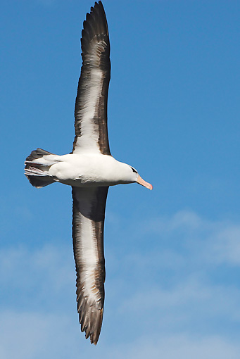 BRD 13 WF0108 01 © Kimball Stock Black-Browed Albatross Soaring Against Blue Sky
