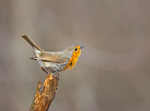 BRD 13 WF0111 01 © Kimball Stock Robin Perched On End Of Broken Twig Singing