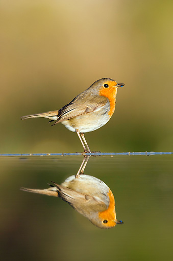 BRD 13 WF0112 01 © Kimball Stock Robin Standing At Edge Of Pond By Reflection
