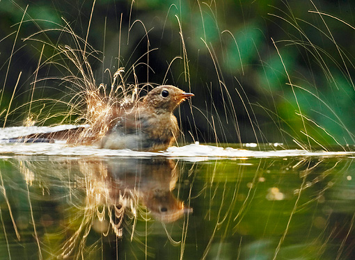 BRD 13 WF0113 01 © Kimball Stock Young Robin Bathing In Pond