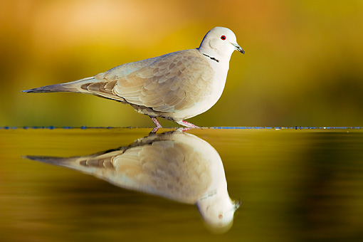 BRD 13 WF0115 01 © Kimball Stock Eurasian Collared Dove Reflected In Pond