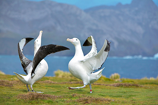 BRD 13 WF0118 01 © Kimball Stock Two Wandering Albatross Displaying On Grass Near Water