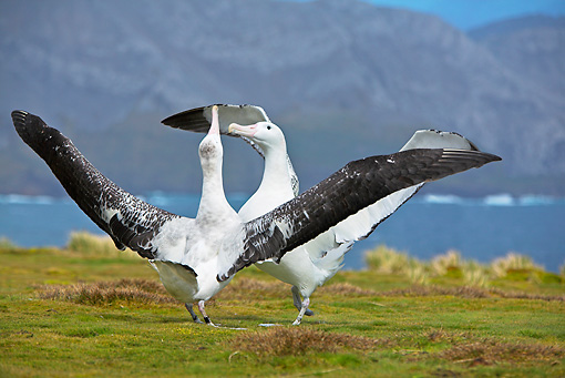 BRD 13 WF0119 01 © Kimball Stock Two Wandering Albatross Displaying On Grass Near Water