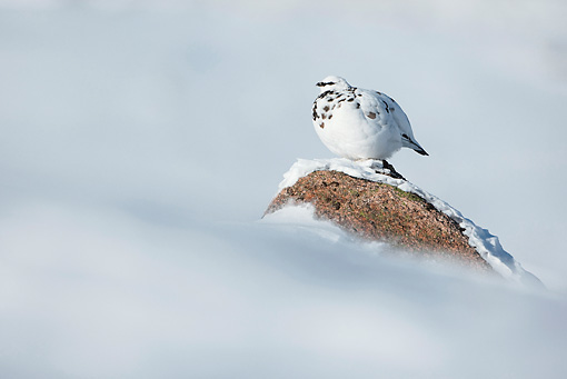 BRD 13 WF0128 01 © Kimball Stock Rock Ptarmigan Male Perched On Rock In Snow