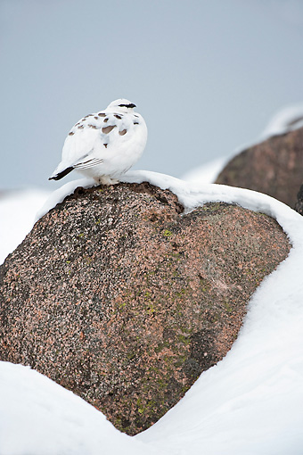 BRD 13 WF0129 01 © Kimball Stock Rock Ptarmigan Male Perched On Rock In Snow