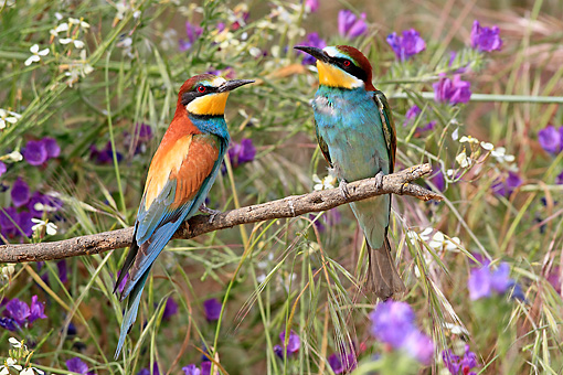BRD 13 WF0130 01 © Kimball Stock Two European Bee-Eaters Perched On Twig By Purple Flowers