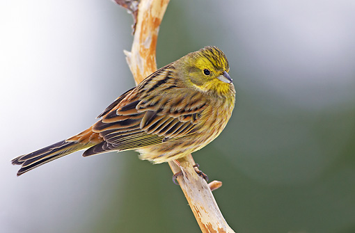 BRD 13 WF0136 01 © Kimball Stock Yellowhammer Perched On Twig
