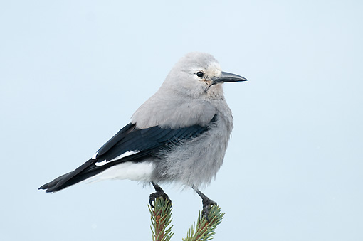 BRD 13 WF0138 01 © Kimball Stock Clark's Nutcracker Standing On Two Spruce Twigs