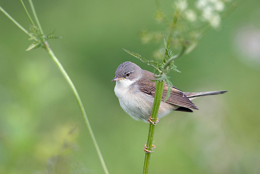BRD 13 WF0139 01 © Kimball Stock Lesser Whitethroat Male In Breeding Plumage Clinging To Stem