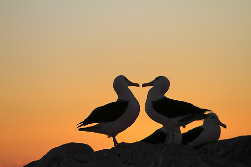 BRD 13 WF0143 01 © Kimball Stock Silhouette Of Two Black-Browed Albatross Standing On Rock At Sunset