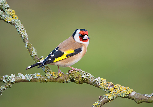 BRD 13 WF0146 01 © Kimball Stock European Goldfinch Perched On Lichen-Covered Tree Branch