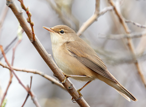BRD 13 WF0147 01 © Kimball Stock Marsh Warbler Perched On Twig