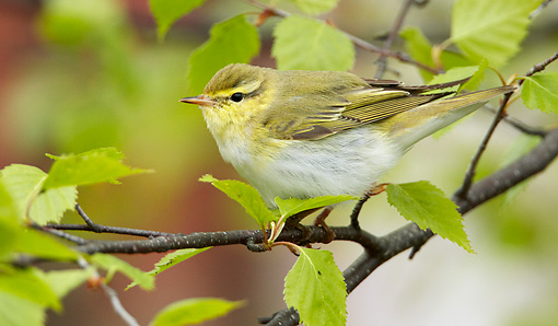 BRD 13 WF0148 01 © Kimball Stock Wood Warbler Perched On Birch Twig