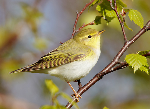 BRD 13 WF0149 01 © Kimball Stock Wood Warbler Perched On Birch Twig