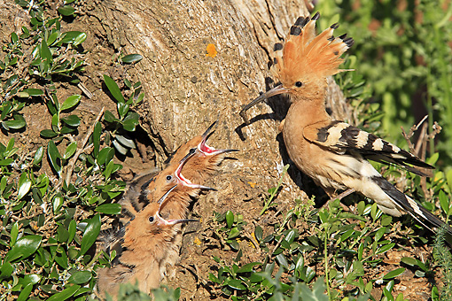 BRD 13 WF0150 01 © Kimball Stock Hoopoe Adult Feeding Chicks At Nest