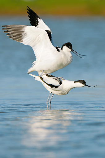 BRD 13 WF0151 01 © Kimball Stock Pair Of Pied Avocets Mating Near Surface Of Water