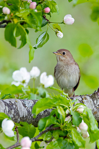 BRD 13 WF0152 01 © Kimball Stock Thrush Nightingale Perched On Branch In Flowering Apple Tree