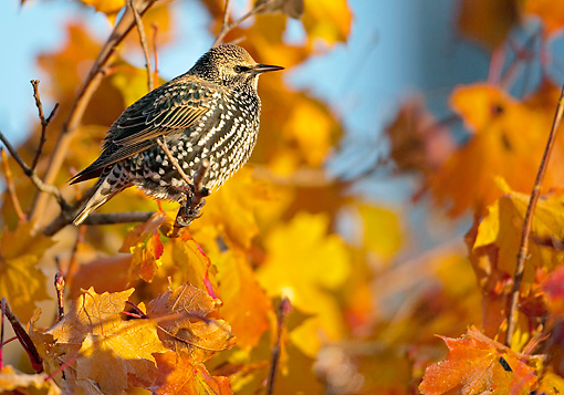 BRD 13 WF0154 01 © Kimball Stock European Starling Perched In Maple Tree In Autumn