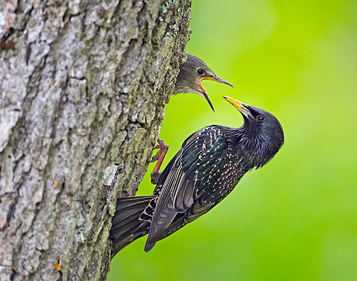 BRD 13 WF0156 01 © Kimball Stock European Starling Feeding Young In Tree Hole