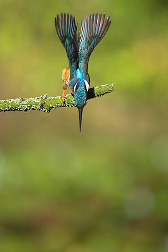 BRD 13 WF0161 01 © Kimball Stock Common Kingfisher Diving For Fish From Branch
