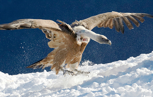 BRD 13 WF0162 01 © Kimball Stock Griffon Vulture Landing In Snow Pyrenees, Spain