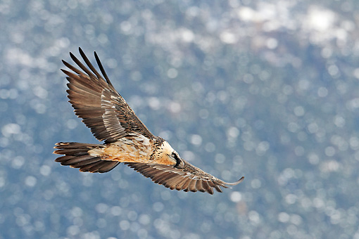 BRD 13 WF0164 01 © Kimball Stock Bearded Vulture In Flight