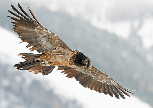 BRD 13 WF0165 01 © Kimball Stock Bearded Vulture Soaring Above Mountains