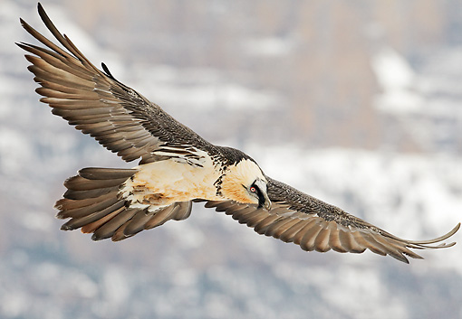 BRD 13 WF0166 01 © Kimball Stock Bearded Vulture Soaring Above Mountains
