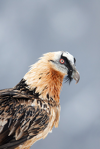 BRD 13 WF0168 01 © Kimball Stock Portrait Of Bearded Vulture