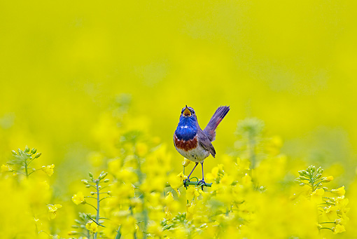 BRD 13 WF0169 01 © Kimball Stock Bluethroat Male Singing On Yellow Blossoms