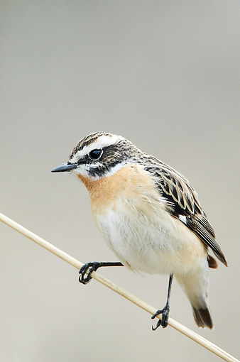 BRD 13 WF0170 01 © Kimball Stock Whinchat Male Perched On Stalk