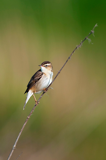 BRD 13 WF0171 01 © Kimball Stock Sedge Warbler Clinging To Twig In Marshland