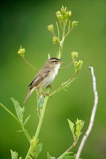 BRD 13 WF0172 01 © Kimball Stock Sedge Warbler Perched On Flowering Plant While Singing