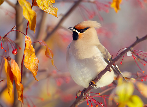 BRD 13 WF0173 01 © Kimball Stock Close-Up Of Waxwing Perched On Twig In Autumn