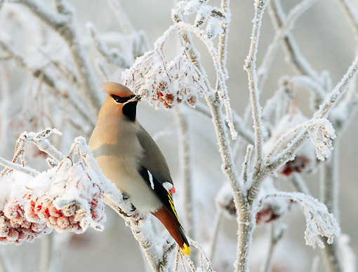BRD 13 WF0174 01 © Kimball Stock Bohemian Waxwing Perched On Frozen Twig With Red Berries