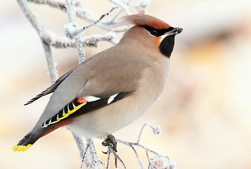 BRD 13 WF0176 01 © Kimball Stock Bohemian Waxwing Perched On Frosty Twig