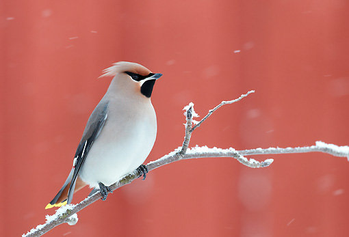 BRD 13 WF0177 01 © Kimball Stock Bohemian Waxwing Perched On Frosty Twig