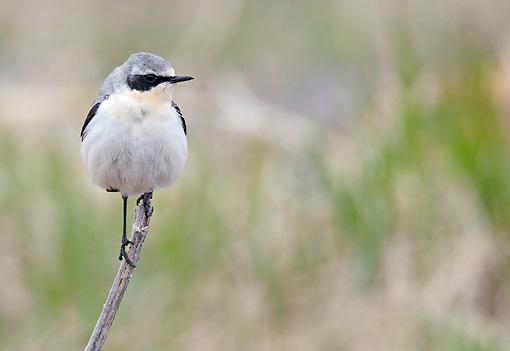 BRD 13 WF0179 01 © Kimball Stock Northern Wheatear Male Standing On Twig