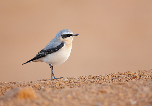 BRD 13 WF0180 01 © Kimball Stock Northern Wheatear Male Standing On Ground