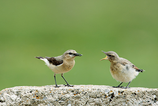 BRD 13 WF0181 01 © Kimball Stock Northern Wheatear Female Feeding Chick On Rock